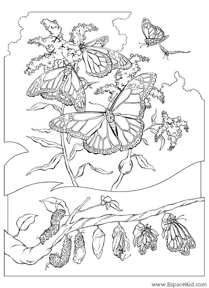Coloriage Cheval Papillon.Coloriage De La Chenille Au Papillon A Imprimer Dans Les Coloriages
